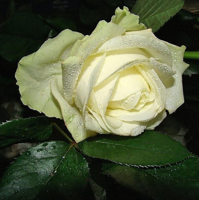 Ruže - Page 2 11893232
