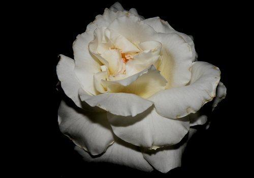 Ruže - Page 2 12000342