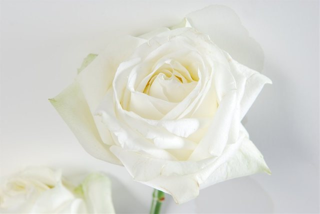 Ruže - Page 2 12422637