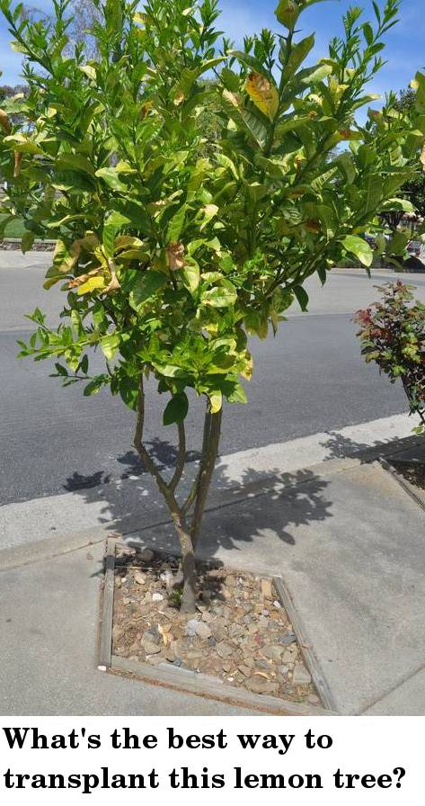 Ideas for removing sharp thorns on sidewalk lemon trees for When to transplant lemon tree seedlings