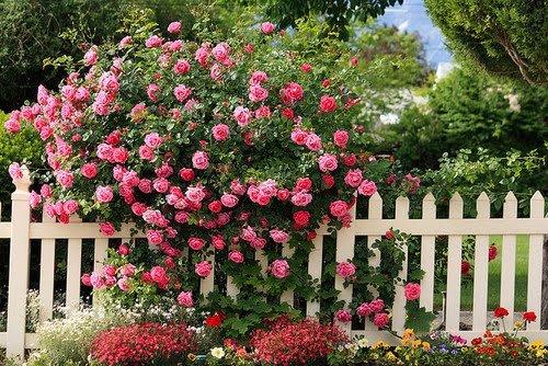 Cvijeće oko kuće  - Page 2 12701592