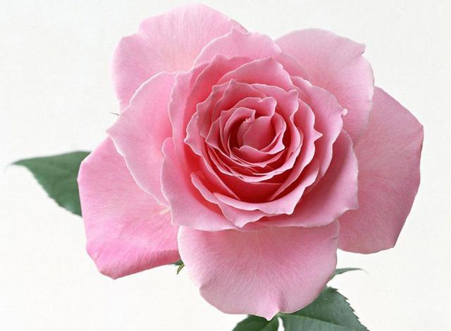 Ruže - Page 2 13043932