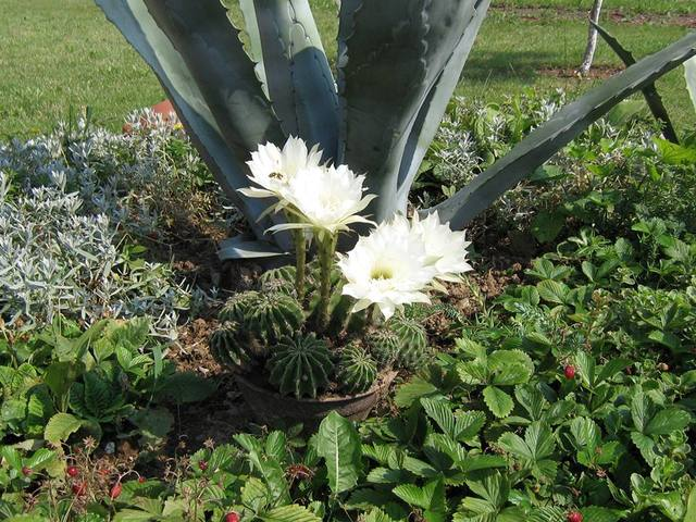 Fotografije kaktusa - Page 2 13247452