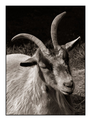 http://www4.picturepush.com/photo/a/1780967/480/Black-%2526-White-and-Sepia/Coombs-Goat.jpg