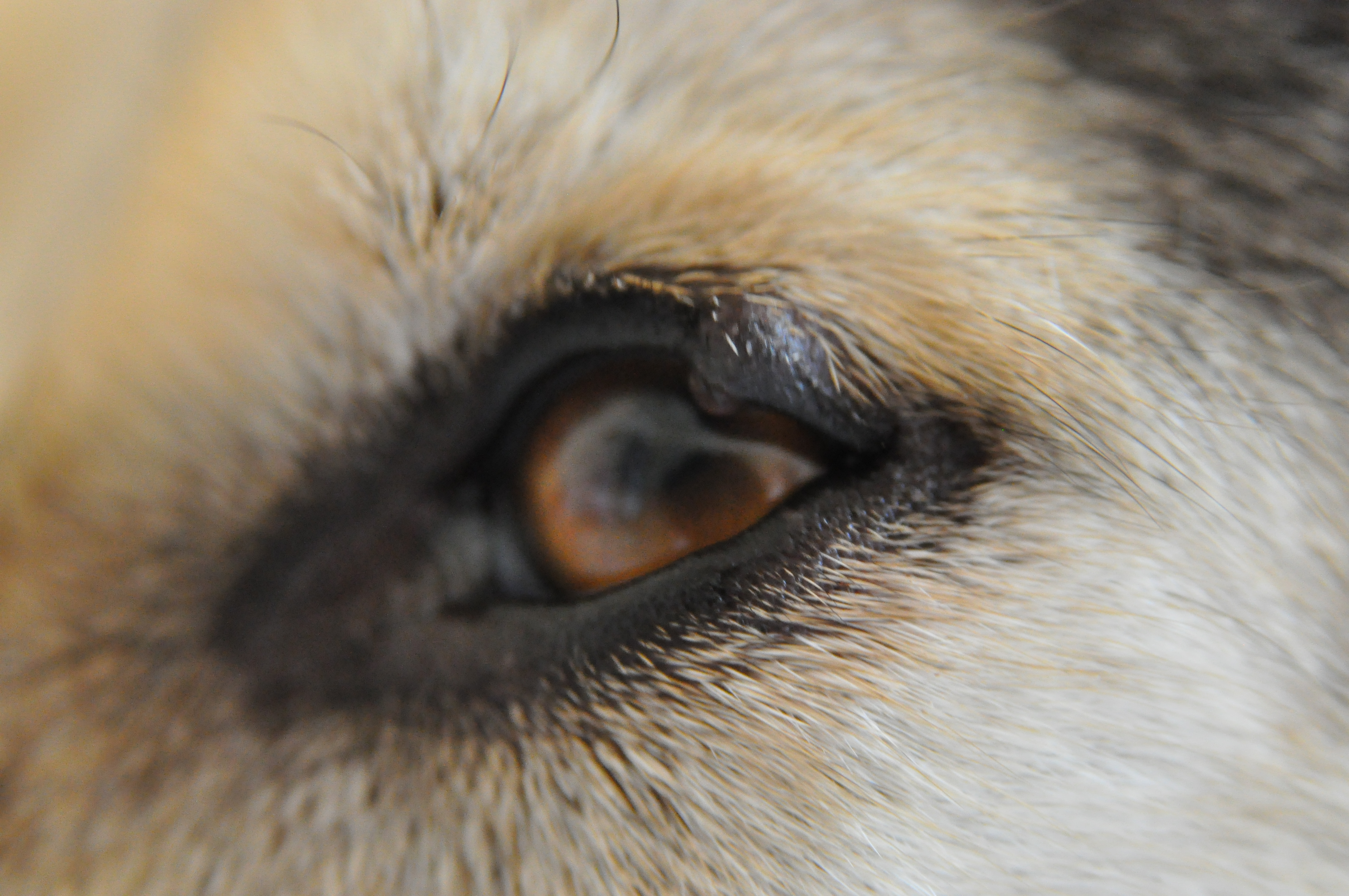 Possible Eyelid Tumor Off Topic Husky Owners The